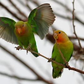 Lovebirds on a cloudy day by Mark Mücke - Animals Birds ( bird, parrot, africa, love birds )