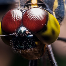 The Eyez of the dragon fly by Wilson Intai - Novices Only Macro ( macro, dragonfly, insect )