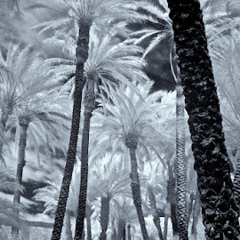 Date Palm Plantation Infrared by Jim Downey - Landscapes Forests ( desert, infrared, black & white, date forest, date palms )