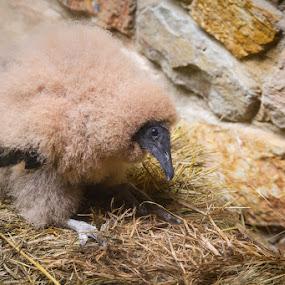 Baby Black Vulture by Jay Huron - Animals Birds ( bird, wild, vulture, raptor, baby, black,  )