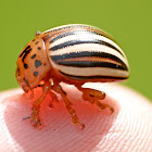False potato beetle