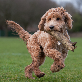 Good looking  by Michael  M Sweeney - Animals - Dogs Puppies ( labradoodle, puppy, michael m sweeney, dog )