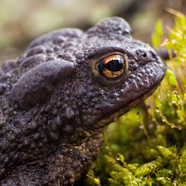 toad by Duncan Riggall - Animals Amphibians ( toad macro nature close eye )