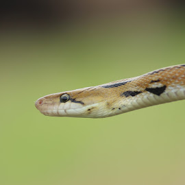 Snake by Nirav Mehta - Animals Reptiles