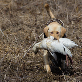 Headed to the Blind  by Gretchen Steele - Animals - Dogs Running ( labrador retriever, hunting dogs, retriever, yellow labrador retriever, animals, dogs, working dogs, dog with game, hunting, waterfowl hunting )