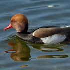 Red-crested Pochard - Nette rousse