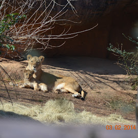 Kiki and Cub by Elizabeth Saurin - Novices Only Wildlife ( african lion )