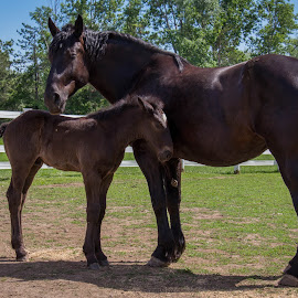 by Linda Pickrell - Animals Horses ( mare, farm, linda pickrell, colt, horse, farm animal, brown, animal )