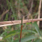 winged stick insect