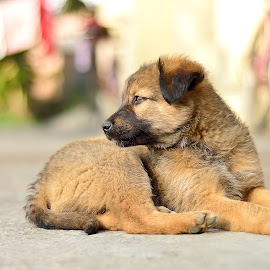 Tiger by Sandeep Nagar - Animals - Dogs Portraits ( puppies, brown, cute, dog, black, baby, young, animal )