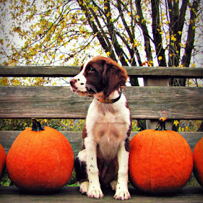 Hope and pumpkins by Kirsi Bertolini - Animals - Dogs Puppies ( dog )