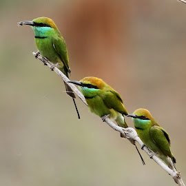 Green Bee-eaters by Sankaran Balaji - Animals Birds ( animals, nature, threesome, green bee-eaters, birds )