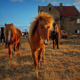 Wild horse at an abandoned farm by Kristján Karlsson - Animals Horses ( icelandic, farm, horses, sunset, ruin, abandoend )