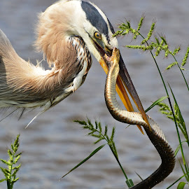 Hunger and Defiance by Mary Smiley - Animals Birds ( great blue heron, snake, snake bite, heron, green water snake )