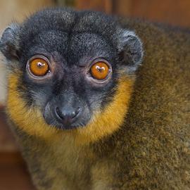 Lemur Beautiful by John Dutton - Animals Other Mammals ( lemur, portrait )