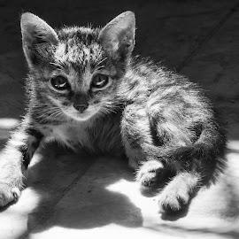 Piepie by Victor Roman - Animals - Cats Portraits ( kitten, pet, black & white, d300, nikon,  )