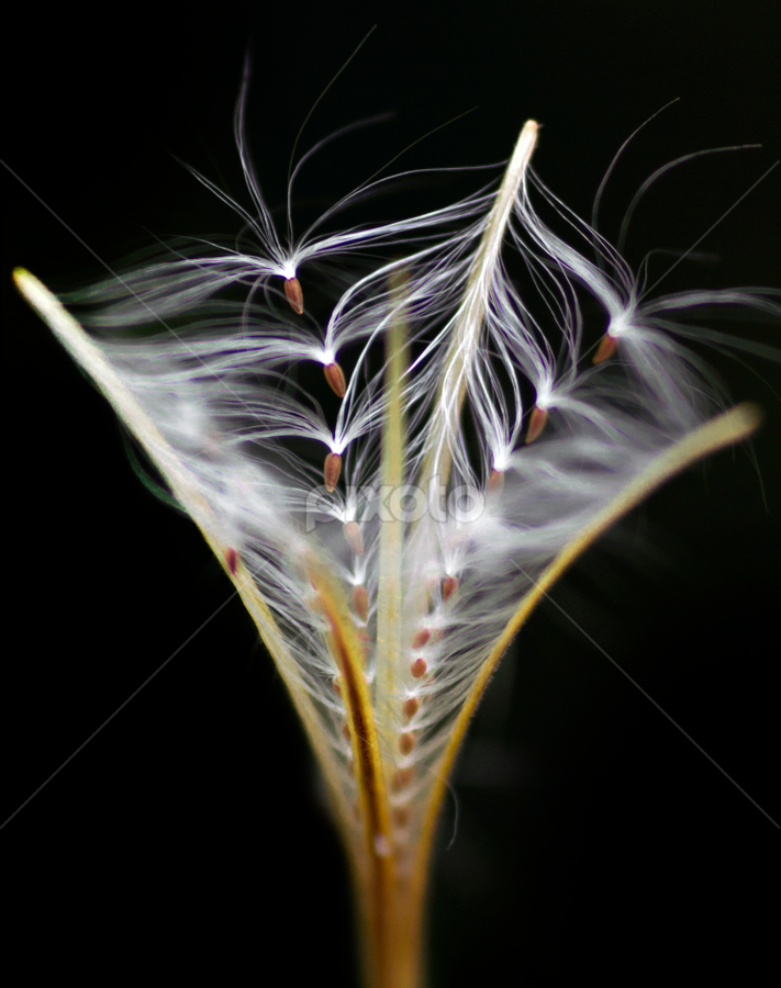 Willowherb by Peter Greenhalgh - Flowers Flowers in the Wild ( seed pod, wildflower, smallflower hairy willowherb, willlowherb, epilobium parviflorum, parachutes )