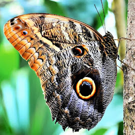 Owl Butterfly by Sylvia Smialkowska - Animals Insects & Spiders ( butterfly, animals, nature, owlbutterfly, insect )