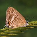 Peablue, Pea Blue, or Long-tailed Blue
