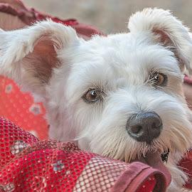 Stroller Ride by Sue Matsunaga - Animals - Dogs Puppies