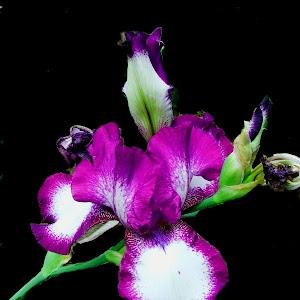 two tone purple iris.jpg