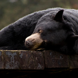 Sleepy Bear... by Jessy Jones-Photography - Animals Other Mammals ( bear, blackbear, wildlife, sleep, animal )