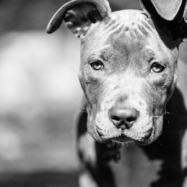 Cali by Preston Trauscht - Animals - Dogs Portraits ( natural light, black and white, doppy, cute, puppy portrait )