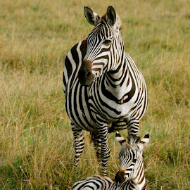 Zebra by Rose Hawksford - Animals Other Mammals