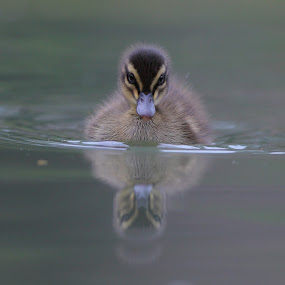 Summer Duckling by Geoff Soper - Animals Birds ( duckling, nature, summer, pond, birds )