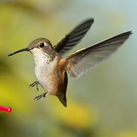 Rufus Hummingbird by Sheldon Bilsker - Animals Birds ( bird, hummingbird )