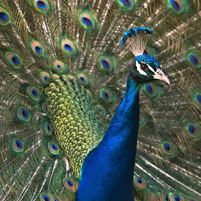 Peacock by Avtar Singh - Animals Birds ( bird, open feather, dancing, colorful, flirting, beauty, peacock, animal )