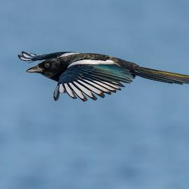 Magpie In Flight by Mick Erwin - Animals Birds ( d800, corvid, mick-erwin, nikon, magpie )