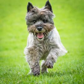 Running Dog by Adrian Miller - Animals - Dogs Running ( pet, dog )