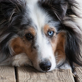 Sheltie at Rest by Sandra Middlebrook - Animals - Dogs Portraits ( dog resting, dogs, shetland sheepdog, dog portrait, sheltie )