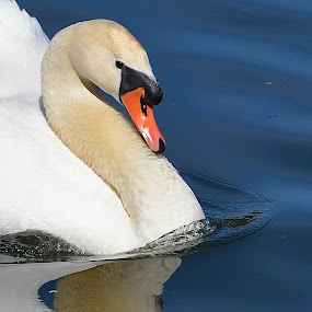 So That's What I Look Like! by Ed Hanson - Animals Birds ( water, reflection, nature, white, swan )