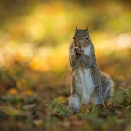 Autumn Feast by Greg Sinclair - Animals Other ( wild, animals, nature, autumn, squirrel, animal )