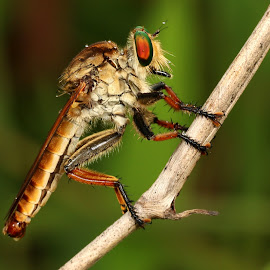 Robber Fly by Richard Liong - Animals Other