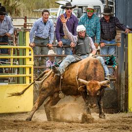 Egging him on by Gary Beresford - Sports & Fitness Rodeo/Bull Riding ( australia, bull, jindabyne )