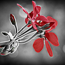Geranium - Selective Color by Cheryl Beaudoin - Digital Art Things ( selective color, pwc )