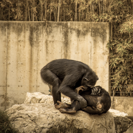 Give me a kiss baby by Robert Namer - Animals Other Mammals ( natural light, chimpanzee, national park, animals, zoo, monkeys, nikkor 18-140, nikon d5200, lightroom, close up, animaux )