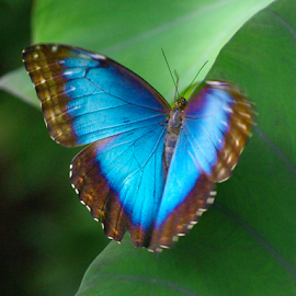 Beautiful Blue by Jason Gaston - Animals Insects & Spiders ( open, butterfly, blue, wings, large )