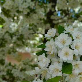 White Buds by Selah Madland - Nature Up Close Flowers - 2011-2013 ( tree, blooming, white, summer, flowers )