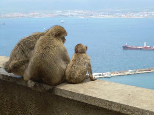 Małpy na Gibraltarze