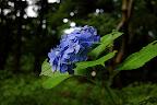 blue flowers in Shizen Kyoiku Park