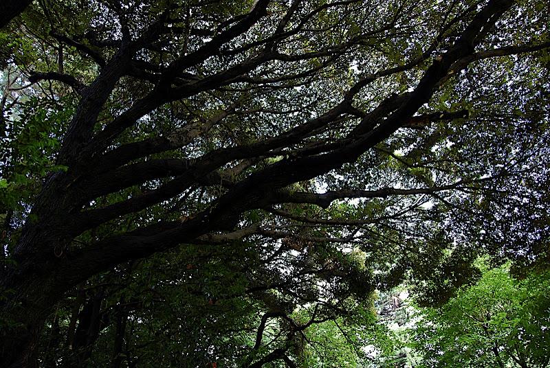 A tree reaching for the sky in Shizen Kyoiku Park