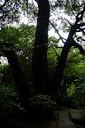 Three trees or one splitting another? - Shizen Kyoiku Park