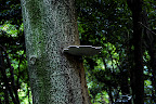 A mushroom grows high up and out of a tree in Shizen Kyoikuen