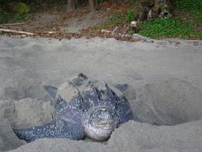 Turtles in Trinidad