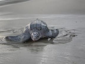 Turtle in Trinidad