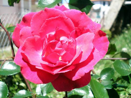 Aquela rosa